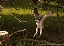 changeable-hawk-eagle-juvenile-sri-lanka-2931-copyright-photographers-on-safari-com