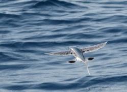 flying-fish-sri-lanka-2906-copyright-photographers-on-safari-com