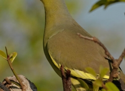 green-pigeon-sri-lanka-2895-copyright-photographers-on-safari-com