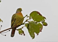 green-pigeon-sri-lanka-2897-copyright-photographers-on-safari-com
