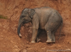 indian-elephant-sri-lanka-2937-copyright-photographers-on-safari-com