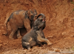 indian-elephant-sri-lanka-2939-copyright-photographers-on-safari-com