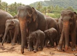 indian-elephant-sri-lanka-2942-copyright-photographers-on-safari-com