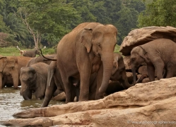 indian-elephant-sri-lanka-2960-copyright-photographers-on-safari-com
