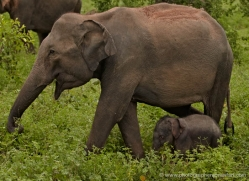 indian-elephant-sri-lanka-2967-copyright-photographers-on-safari-com