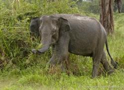 indian-elephant-sri-lanka-2971-copyright-photographers-on-safari-com
