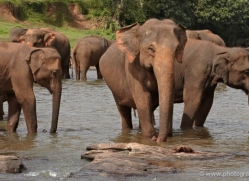indian-elephant-sri-lanka-2972-copyright-photographers-on-safari-com