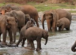 indian-elephant-sri-lanka-2973-copyright-photographers-on-safari-com