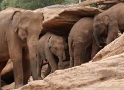 indian-elephant-sri-lanka-2974-copyright-photographers-on-safari-com