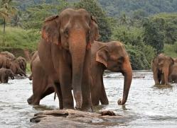 indian-elephant-sri-lanka-2975-copyright-photographers-on-safari-com