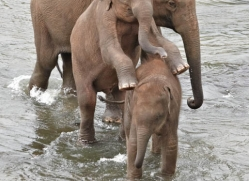 indian-elephant-sri-lanka-2976-copyright-photographers-on-safari-com