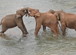 indian-elephant-sri-lanka-2978-copyright-photographers-on-safari-com
