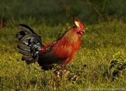 jungle-fowl-sri-lanka-2899-copyright-photographers-on-safari-com