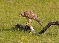 kestrel-sri-lanka-2927-copyright-photographers-on-safari-com