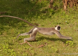 langur-monkey-sri-lanka-2916-copyright-photographers-on-safari-com