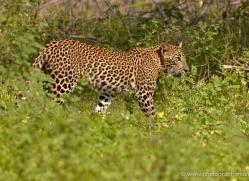 leopard-sri-lanka-2866-copyright-photographers-on-safari-com