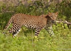 leopard-sri-lanka-2867-copyright-photographers-on-safari-com