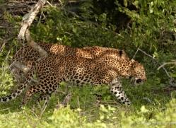 leopard-sri-lanka-2868-copyright-photographers-on-safari-com