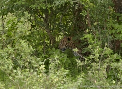 leopard-sri-lanka-2869-copyright-photographers-on-safari-com