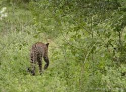 leopard-sri-lanka-2870-copyright-photographers-on-safari-com