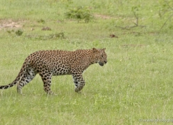 leopard-sri-lanka-2871-copyright-photographers-on-safari-com