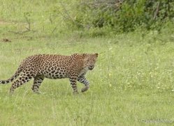 leopard-sri-lanka-2872-copyright-photographers-on-safari-com