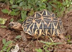 leopard-tortoise-sri-lanka-2855-copyright-photographers-on-safari-com
