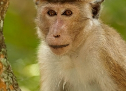 macaque-sri-lanka-2909-copyright-photographers-on-safari-com