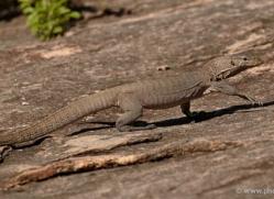 monitor-lizard-sri-lanka-2875-copyright-photographers-on-safari-com