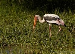 painted-stork-sri-lanka-2911-copyright-photographers-on-safari-com