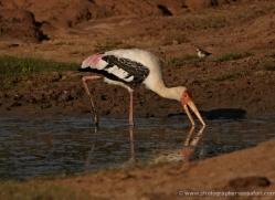painted-stork-sri-lanka-2912-copyright-photographers-on-safari-com