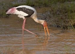 painted-stork-sri-lanka-2913-copyright-photographers-on-safari-com
