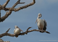 pelican-sri-lanka-2914-copyright-photographers-on-safari-com