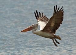 pelican-sri-lanka-2915-copyright-photographers-on-safari-com