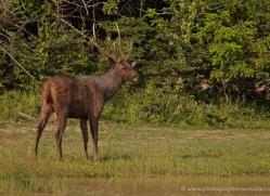sambar-deer-sri-lanka-2891-copyright-photographers-on-safari-com