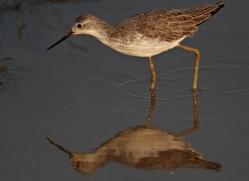 sandpiper-sri-lanka-2935-copyright-photographers-on-safari-com