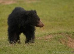 sloth-bear-sri-lanka-2901-copyright-photographers-on-safari-com