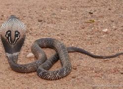 snake-sri-lanka-2845-copyright-photographers-on-safari-com