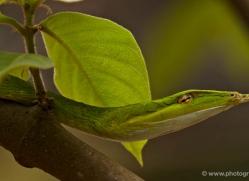snake-sri-lanka-2853-copyright-photographers-on-safari-com