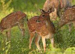 spotted-deer-chital-sri-lanka-2925-copyright-photographers-on-safari-com