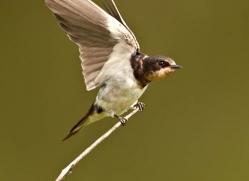 swallow-sri-lanka-2898-copyright-photographers-on-safari-com