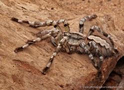 tarantula-spider-sri-lanka-2890-copyright-photographers-on-safari-com