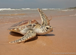 turtle-sri-lanka-2834-copyright-photographers-on-safari-com