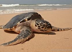 turtle-sri-lanka-2835-copyright-photographers-on-safari-com