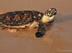 turtle-sri-lanka-2837-copyright-photographers-on-safari-com