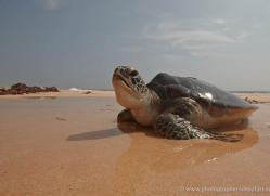 turtle-sri-lanka-2838-copyright-photographers-on-safari-com