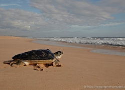 turtle-sri-lanka-2841-copyright-photographers-on-safari-com