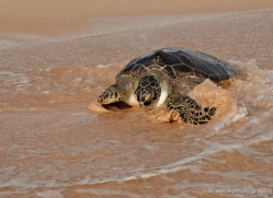 turtle-sri-lanka-2843-copyright-photographers-on-safari-com