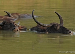 water-buffalo-sri-lanka-2877-copyright-photographers-on-safari-com