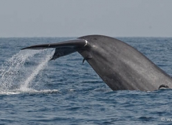 whale-whale-watching-sri-lanka-2861-copyright-photographers-on-safari-com